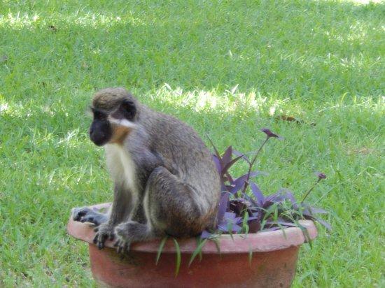 Senegambia Beach Hotel: Elke ochtend werden we verwelkomt door de apen.
