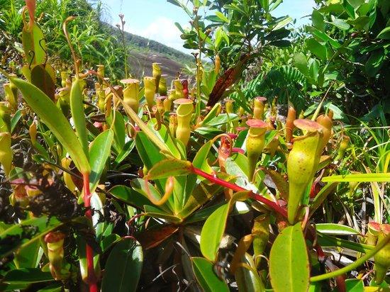 Copolia Trail : carnivore plants