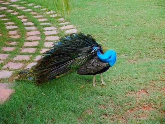 The Gateway Hotel Pasumalai Madurai : peacocks walking around garden