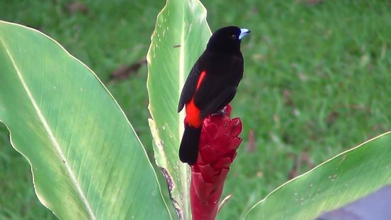 Arenal Observatory Lodge & Spa: More beautiful birds