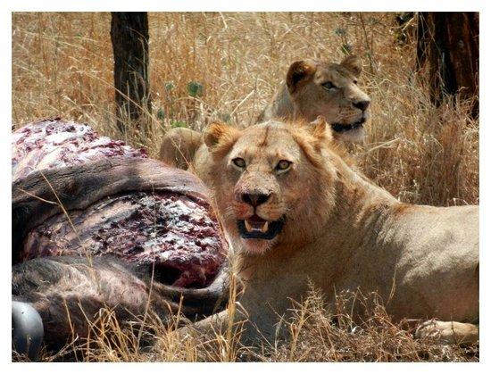 Duma Explorer - Day Tours : Serengeti Buffet - with Duma Explorer