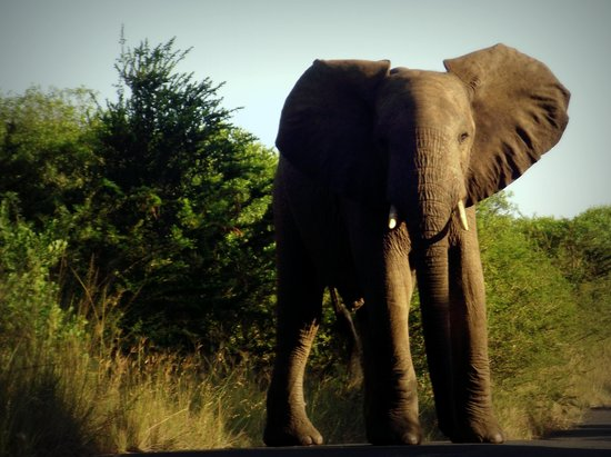Country and Coastal Touring: Elephant at Hluhluwe Imfolozi Game Reserve