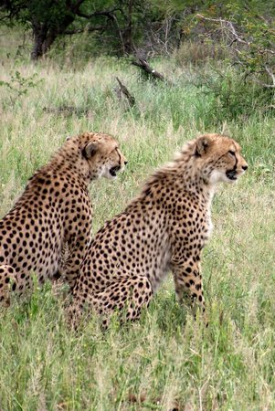Country and Coastal Touring: Cheetah's waiting patiently at Hluhluwe Imfolozi Game Reserve