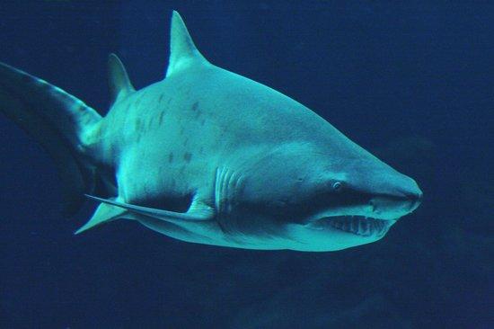 Requin Taureau Picture Of Aquarium Mare Nostrum