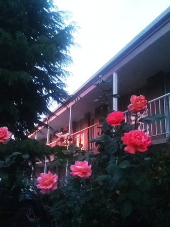Winning Post Motor Inn: Roses in bloom