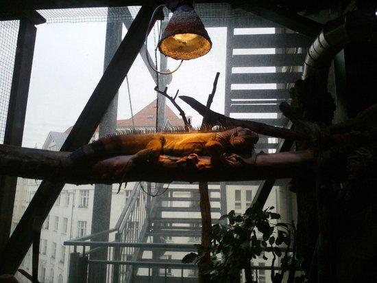 Haus des Meeres - Aqua Terra Zoo: a big iguana free!!