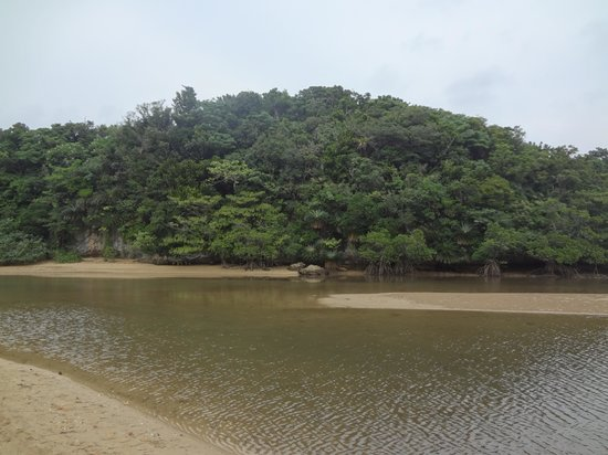 Rhizophoraceae Plant Community of Fukidogawa River: 干潮時のヒルギ群落1