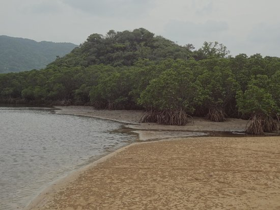 Rhizophoraceae Plant Community of Fukidogawa River: 干潮時のヒルギ群落2