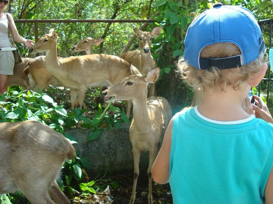 Khao Kheow Open Zoo: олени