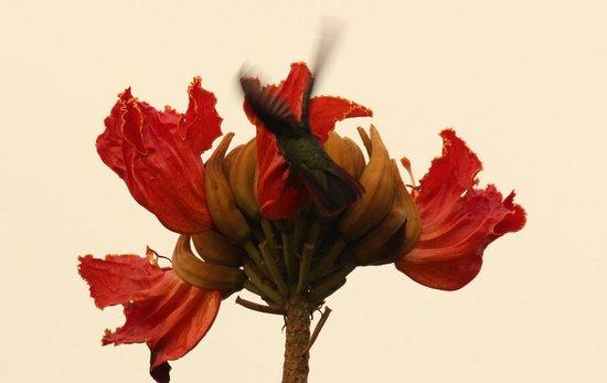 Tipple Tree Beya: Rufous-tailed Hummingbird on the Tulip tree on the property