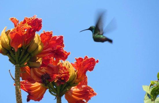 Tipple Tree Beya: Green-breasted Mango on the Tulip tree blooms
