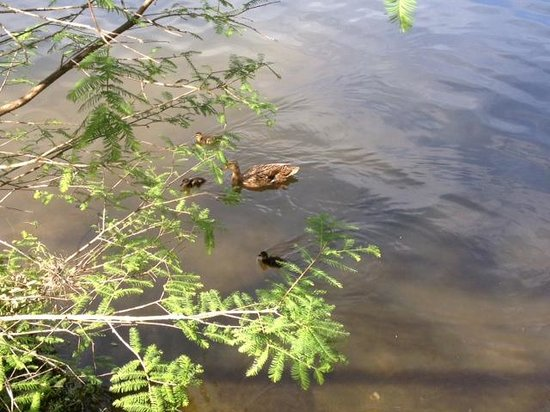 Wyndham Bonnet Creek Resort: more ducks