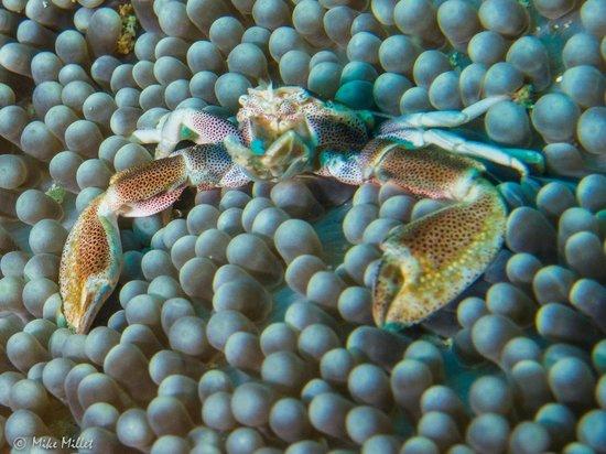 Gangga Island Resort & Spa: POrcelain Crab