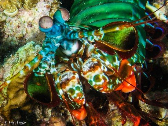 Gangga Island Resort & Spa: Mantis Shrimp