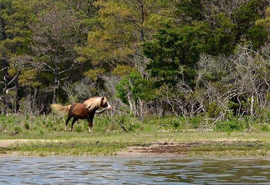 Chincoteague National Wildlife Refuge: noble assateague wild stallion