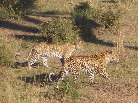 Mara Explorer Camp: Leopard pair