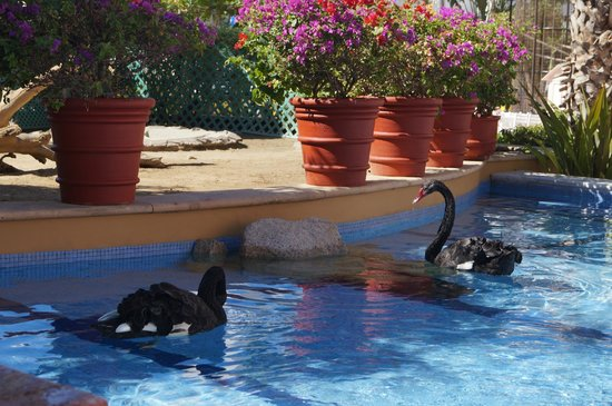 Pueblo Bonito Rose : Black swans at the hotel