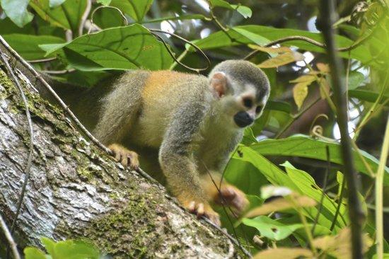 Manuel Antonio Expeditions: Squirrel Monkey