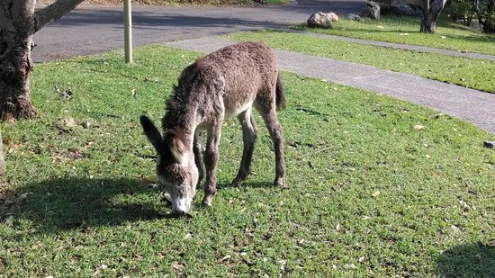 Caneel Bay Resort : Baby Donkey