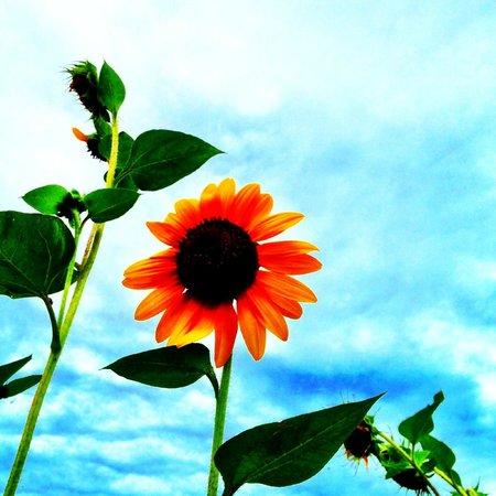 Wangari Garden : Sunflower in the garden