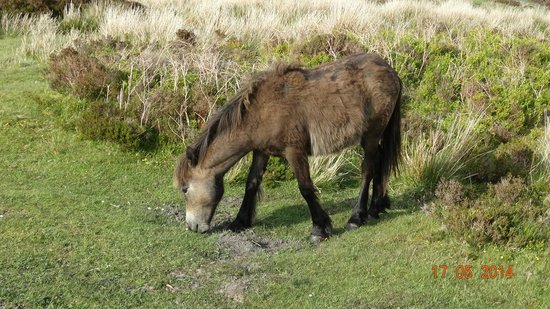 Marston Lodge Hotel: Exmoor Pony
