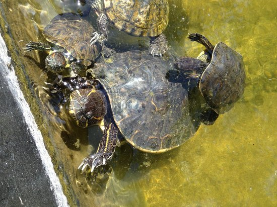 Casa Velas: turtles in the carport pond