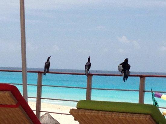 Sunset Royal Cancun Resort: Tem corvo demais, na praia e área da piscina.
