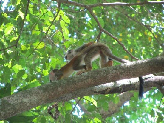 Tulemar Bungalows & Villas: More Squirrel monkeys