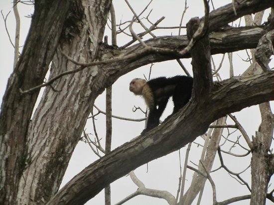 Tulemar Bungalows & Villas: White faced monkey