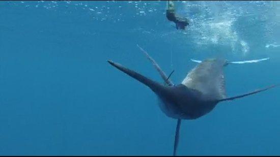 Star Fleet Sportfishing: Underwater pic of hooked marlin