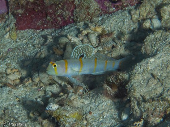 Minahasa Lagoon Dive & Tours Club: Randall's Goby