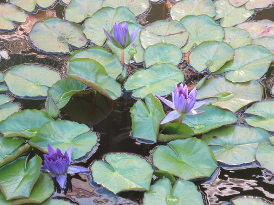 Aston at Papakea Resort: Lily pads in pond