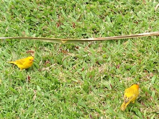 Fairmont Orchid, Hawaii : loved these birds