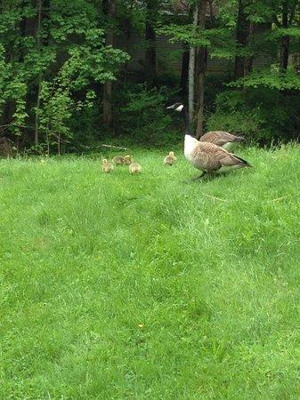 Buttermilk Falls Inn & Spa : Baby geese
