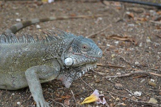Kura Hulanda Lodge & Beach Club: fauna locale-iguana