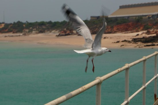 Broome Deep Water Wharf & Jetty: Bird life a plenty.