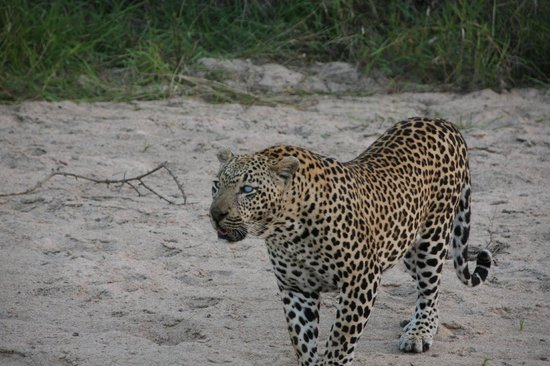 Rattray's on MalaMala: Leopard on our game drive