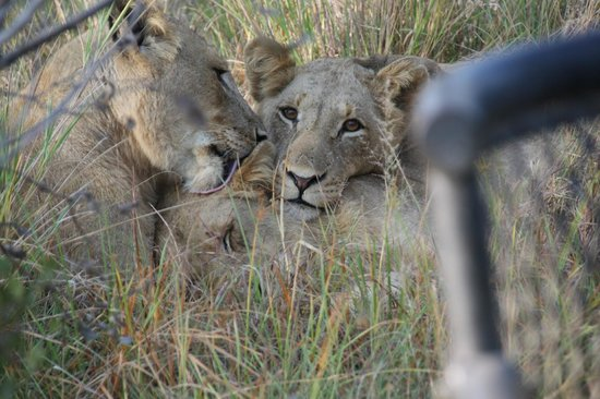 Rattray's on MalaMala : Lions on our game drive