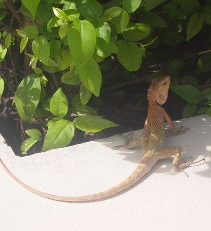 Rawai Palm Beach Resort : Lizard wandering around