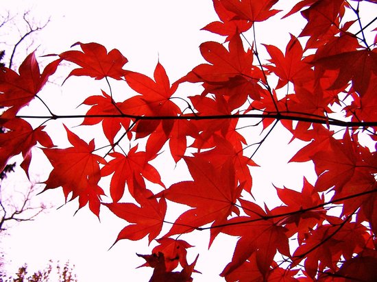 Thorp Perrow: autumn acers