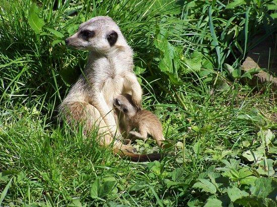 Thorp Perrow: meerkat