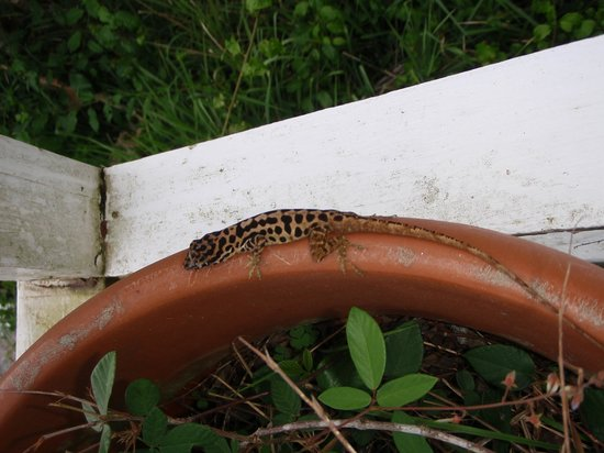 Windwardside: The Venerated (but taken for granted) Saba Anole