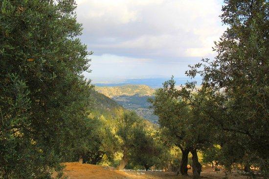 Es Verger : Blick vom Wanderweg hinab über Olivenhain