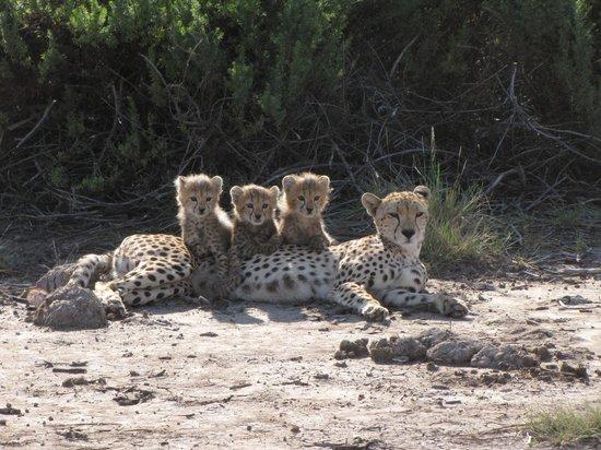 Tortilis Camp: Amboseli Cheetahs