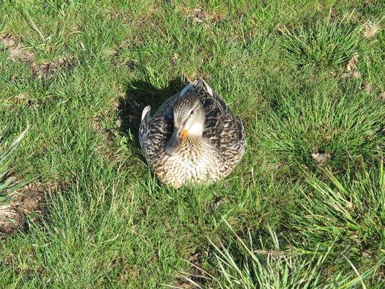 Boulder Bay Park : duck at rest