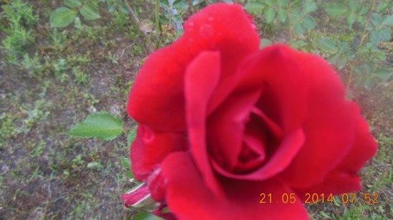 Villa Iz: роза