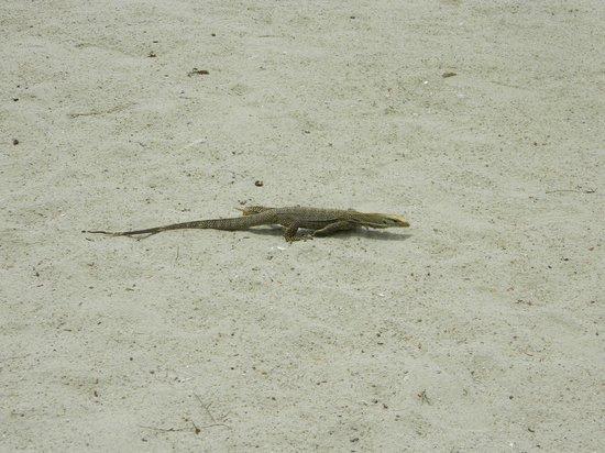 Vivanta by Taj Rebak Island, Langkawi: A monitor lizard at the beach