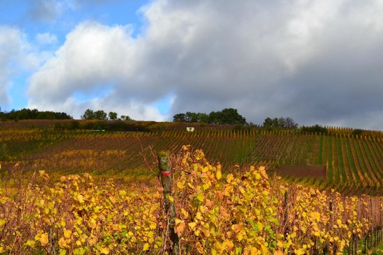 Vieille Ville : Les vignes à l'entrée du village