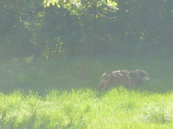 Parc animalier de Gramat : les loups d'Europe