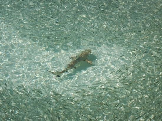 Vilamendhoo Island Resort & Spa : small shark in the lagoon in a school of anchovies